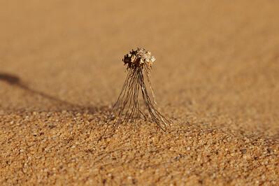 Sahara desert plant