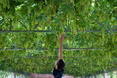 James Pleasand reaching for Grape Valley Grapes
