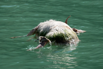 Dead Goat in Lake Tianchi