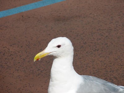 This seagul was stealing food off of plates while we were docked in Vancouver