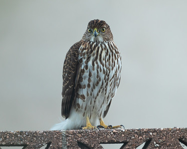 This Cooper's Hawk is hanging out above the bird feeder hoping for a meal. I hope he gets Rufous.
