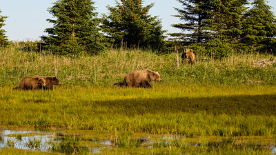 A sow grizzly leads her two cubs past a lone third year male that she wants nothing to do with!