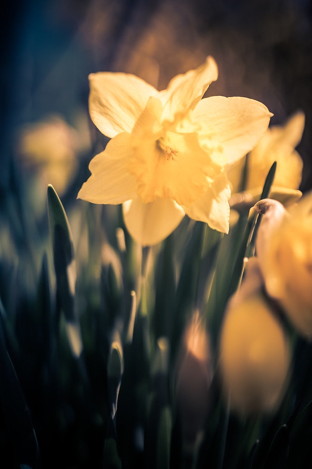 Daffodil Will