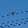 Bird off a Wire