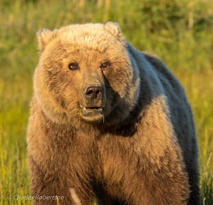 "A close-up of the grizzly sow with her ""no nonsense"" look. You would not want to get her upset!!"