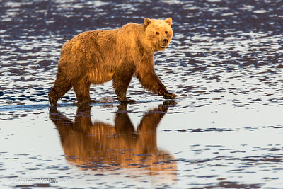 As we were returning along the beach in the late evening, we encountered this lone bear walking along the water's edge with nice lighting and reflection.
