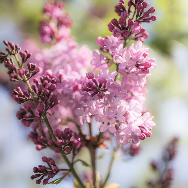 Love and Lilacs
