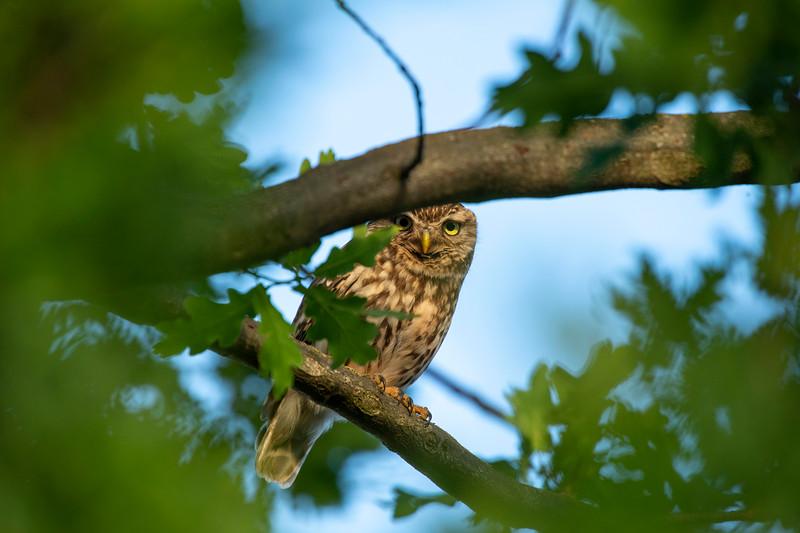A Little Owl in an oak tree outside Dreieich, Hessen, Germany. © Daniel Rosengren