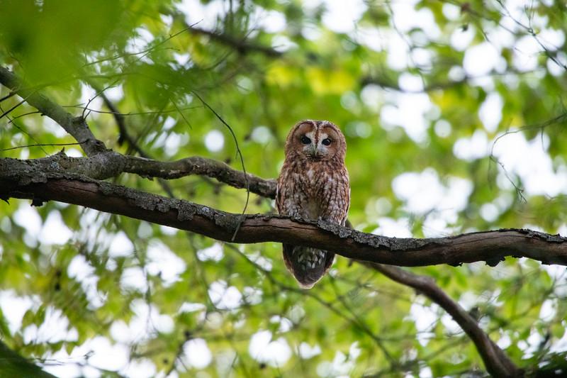 A Tawny Owl in Langen, Hessen, Germany. © Daniel Rosengren