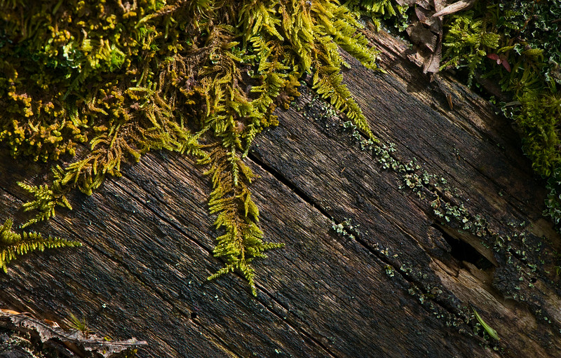 Mosses growing on a dead log in the Bayerischer Wald NP, Germany. © Daniel Rosengren / FZS