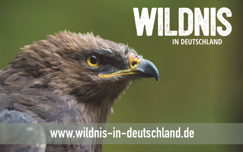 A Lesser Spotted Eagle in an enclosure in the Bayerischer Wald NP, Germany. © Wildnis-in-Deutschland.de, Daniel Rosengren