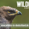 A Lesser Spotted Eagle in an enclosure in the Bayerischer Wald NP, Germany. © Wildnis-in-Deutschland.de, Daniel Rosengren / FZS