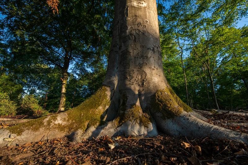 A Beech tree in Langen, Germany. © Daniel Rosengren