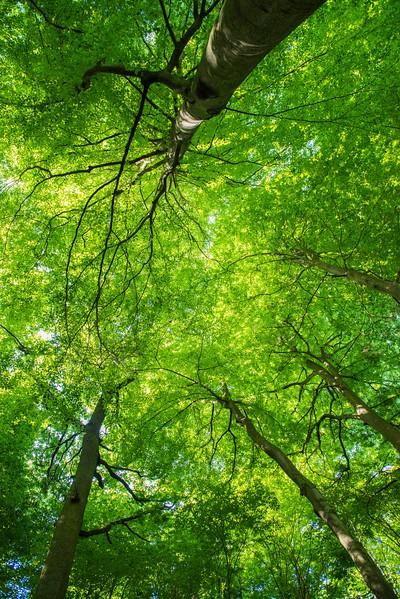 Beech canopy in the forest reserve, Hegbachaue bei Messel, Koberstadt, in Hessen, Germany. © Daniel Rosengren
