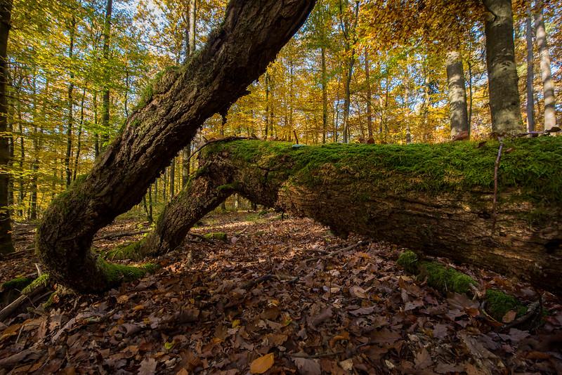 A Birch forest in Alsberg, Hessen, Germany. © Daniel Rosengren