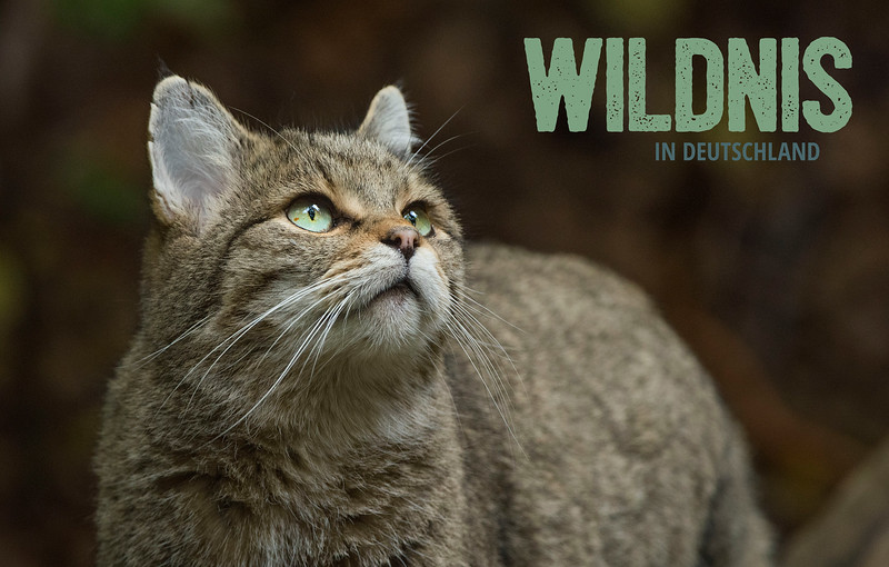 Wildkatze + Logo grün (5235x3333 Pixel, 300dpi)