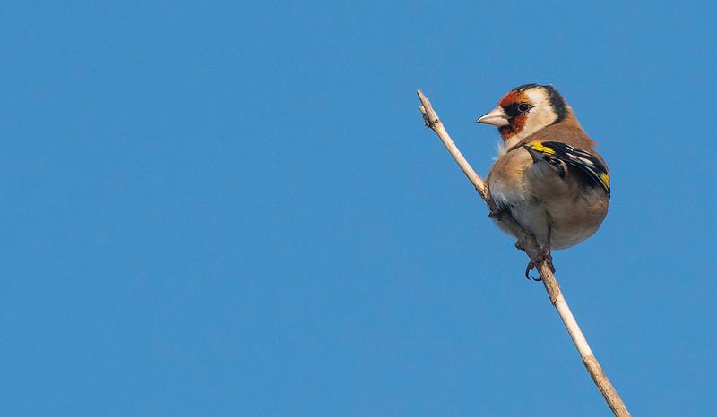 European goldfinch. Lieberose, Brandenburg, Germany. © Daniel Rosengren / FZS