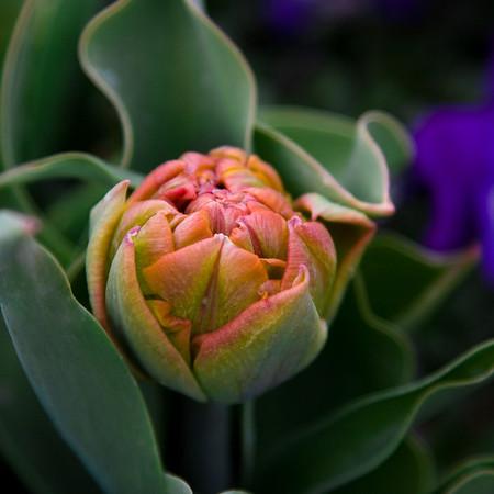 Tulip Budding higher angle