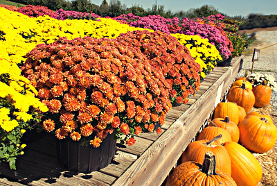 U PICK MUMS AND PUMKINS