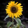 Sunflower Before SpectraSnap Custom White Balance