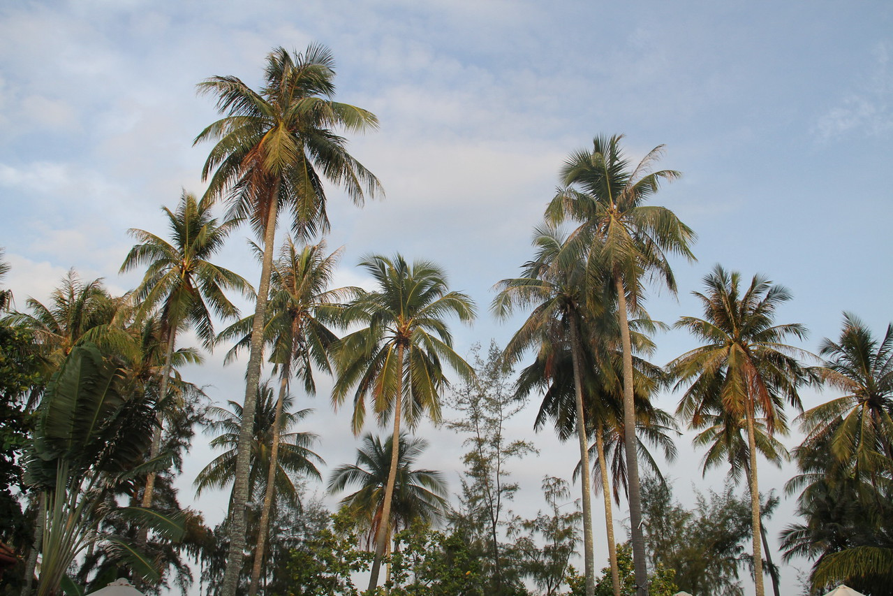 Coconut trees in front of Cassia Cottages