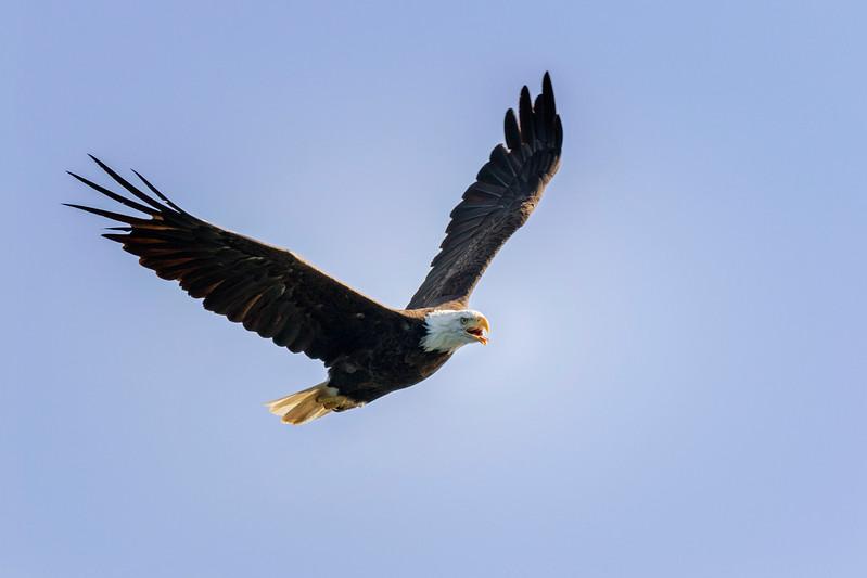 Nova Scotia Eagle