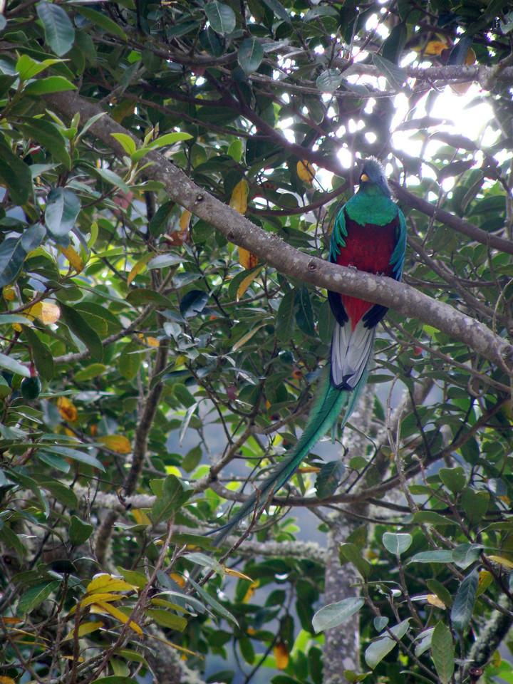The famous quetzal
