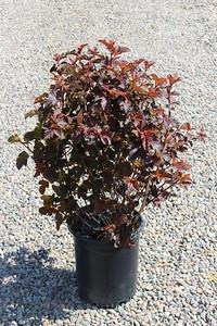 Physocarpus op  'Center Glow'™ #5