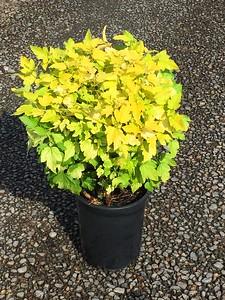 Physocarpus op  'Dart's Gold'