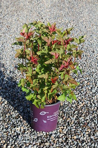 Physocarpus op  Amber Jubilee™ FIRST EDITIONS® #2