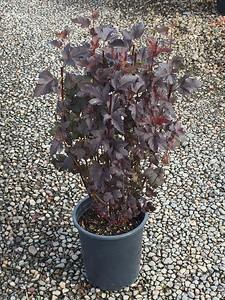Physocarpus op  'Diablo' #5