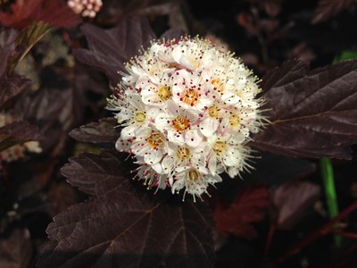 Physocarpus op  'Center Glow'