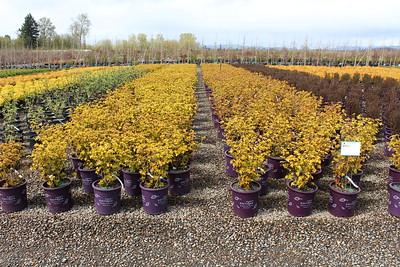 Physocarpus op  'Amber Jubilee' FE #5 (2)