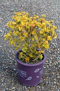 Physocarpus op  'Amber Jubilee' TM FE #5