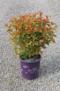 Physocarpus op  'Amber Jubilee' FE #5
