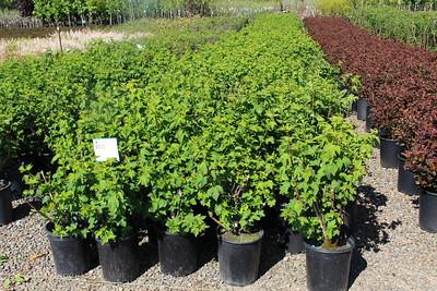 Physocarpus capitatus #5 (3)