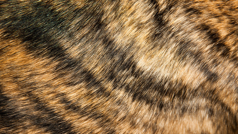 """Brindle Fur<br /> <br /> Our Greyhound Penny let me photograph her fur this evening.  The boy, Percy, who also has a brindle coat, would not hold still long enough.  His fur is not as fine and would probably have made a better texture.<br /> <br /> <a href=""""http://en.wikipedia.org/wiki/Brindle"""">http://en.wikipedia.org/wiki/Brindle</a>"""