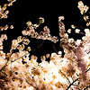 Cherry Tree By Street Light 2