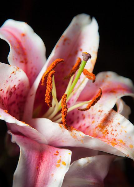 Stargazer Lily