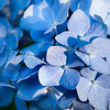 "Hydrangea<br /> <br /> Blue indicates high soil pH encouraging the uptake of aluminum.  Aluminum sulfate can be added around the plant for enhanced color.  Lime can be added for pink blooms.<br /> <br /> <a href=""http://www.hydrangeashydrangeas.com/colorchange.html"">http://www.hydrangeashydrangeas.com/colorchange.html</a>"