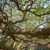 "Angel Oak  <a  target=""_blank"" href=""http://en.wikipedia.org/wiki/Angel_Oak""> Angel Oak Wiki </a> &nbsp &nbsp <a target=""_blank"" href=""http://maps.google.com/maps?q=angel+oak&hl=en&ll=32.717132,-80.080845&spn=0.000677,0.000871&sll=32.772319,-79.9322&sspn=0.005187,0.009323&t=h&gl=us&hq=angel+oak&layer=c&cbll=32.717226,-80.080838&panoid=c738LIUIBO0E2o9aHpVtEw&cbp=12,99.15,,0,-6.06&z=21""> Location on Google Maps </a> &nbsp"