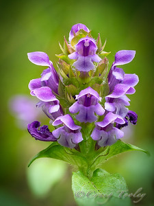 This one is Prunella vulgaris or Selfheal, a native.