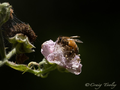 The composition and lighting are spectacular. Something about the softness of the flower against the dark background and the glowing body of the bee with its lit wings. And the delicate spider webs and prickles on the stems. The whole thing is gorgeous.
