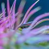 Striped Leafhopper
