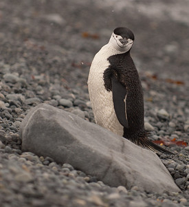 Dec 21st - Chinstrap Penguin.
