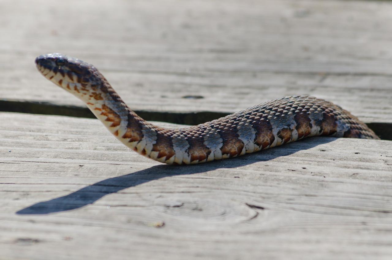 03-17-2012 - Prairie King Snake doing a little St Patty's day sunning