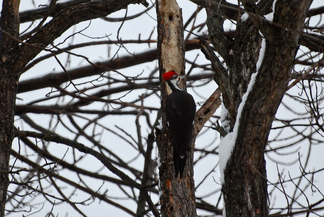 02-28-2010 - Pileated Woodpecker