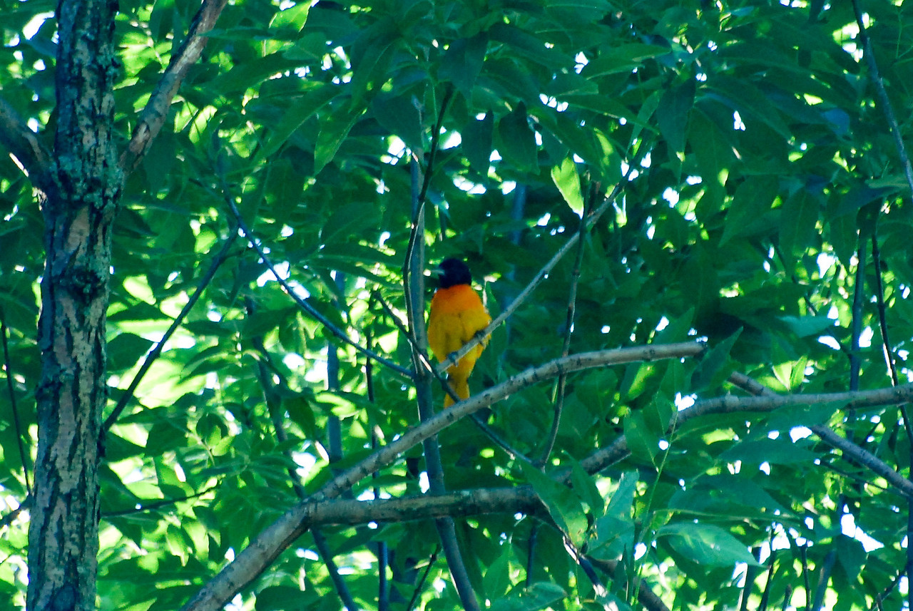 06-10-2010  Baltimore Oriole?  We haven't had a visit by one of these before.
