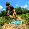KRISTOPHER RADDER — BRATTLEBORO REFORMER<br /> Trevor Coulombe, an employee at Duttons Berry Farm, in Newfane, Vt., picks strawberries on Tuesday, June 23, 2020.