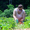 KRISTOPHER RADDER — BRATTLEBORO REFORMER<br />  Heidi White Gale, from Dummerston, Vt., puts strawberries into a container while picking strawberries at Duttons Berry Farm, in Newfane, Vt., on Tuesday, June 23, 2020.